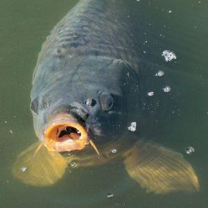 Welcher Fisch Ist In Fischstäbchen